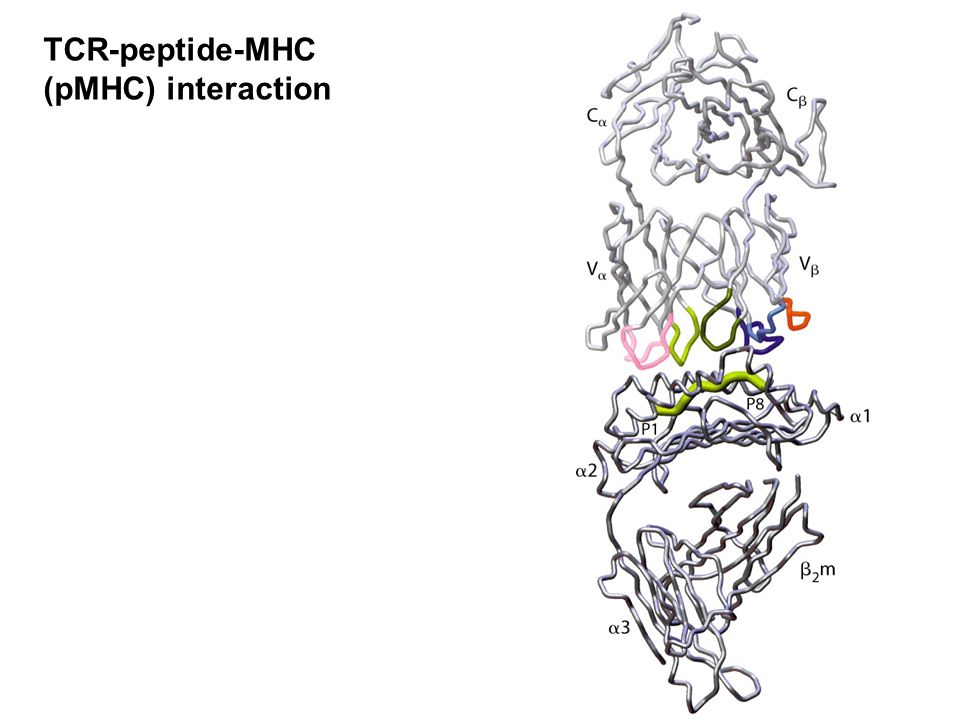 TCR-peptide-MHC (pMHC) interaction