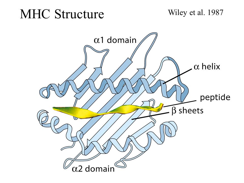 MHC Structure Wiley et al. 1987 peptide Kuby 7-10