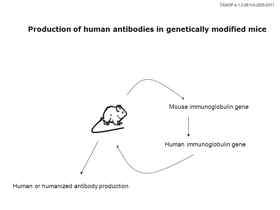 Production of human antibodies in genetically modified mice