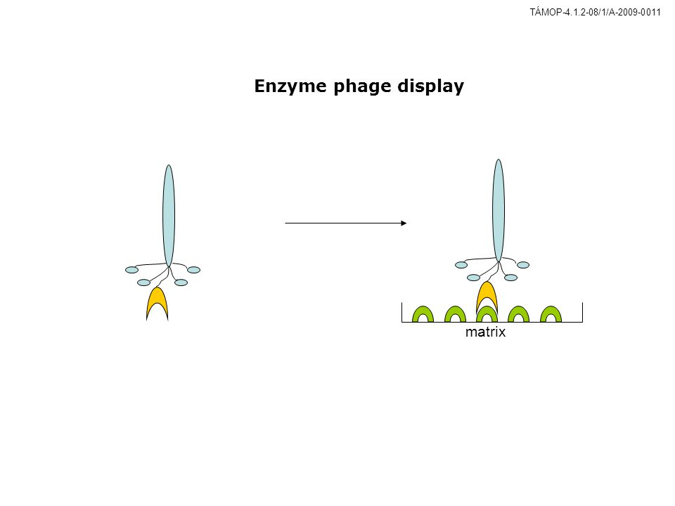 Enzyme phage display matrix Figure 13. Enzyme phage display. 16