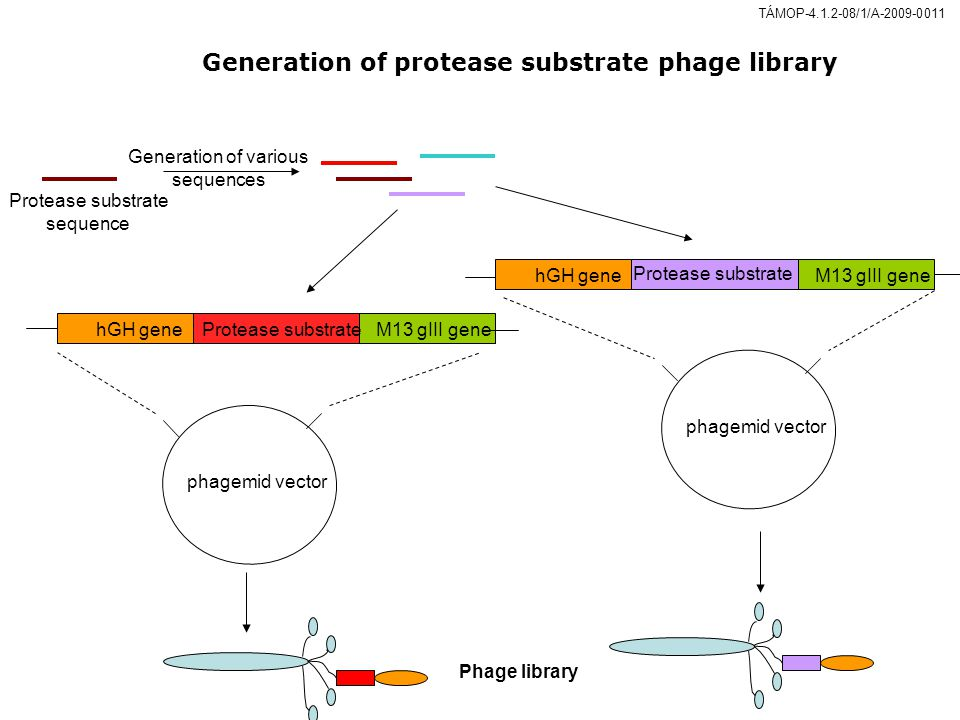 Generation of protease substrate phage library