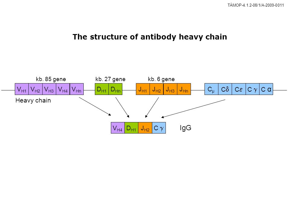 The structure of antibody heavy chain