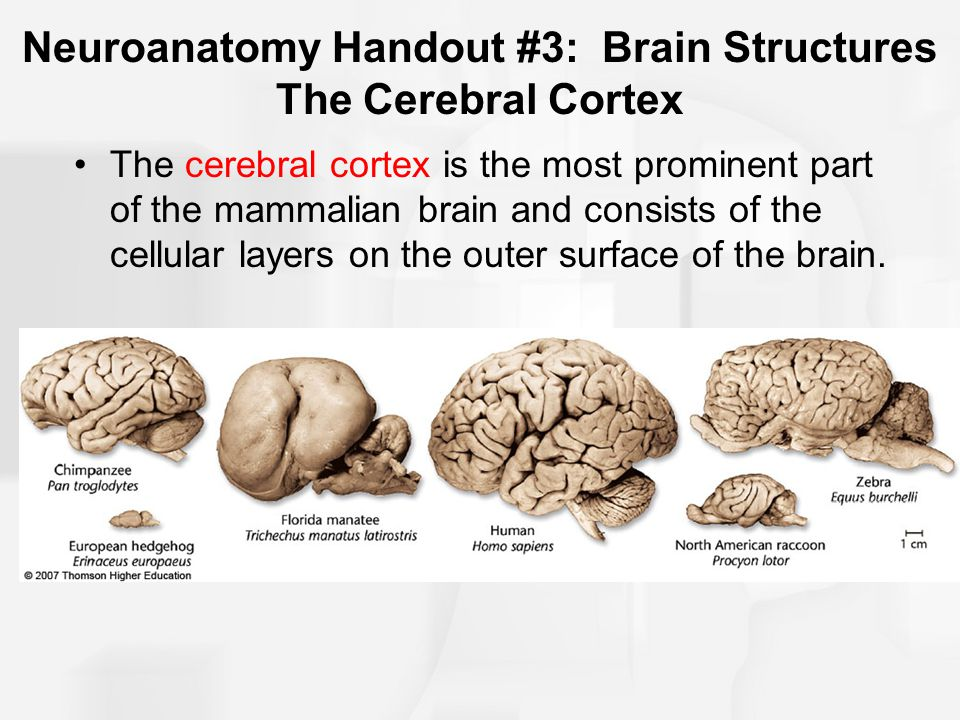 Anatomy of the cerebral cortex
