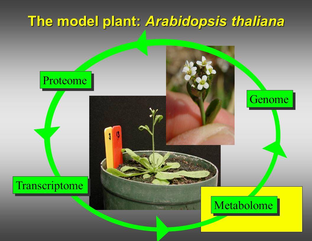 The model plant: Arabidopsis thaliana