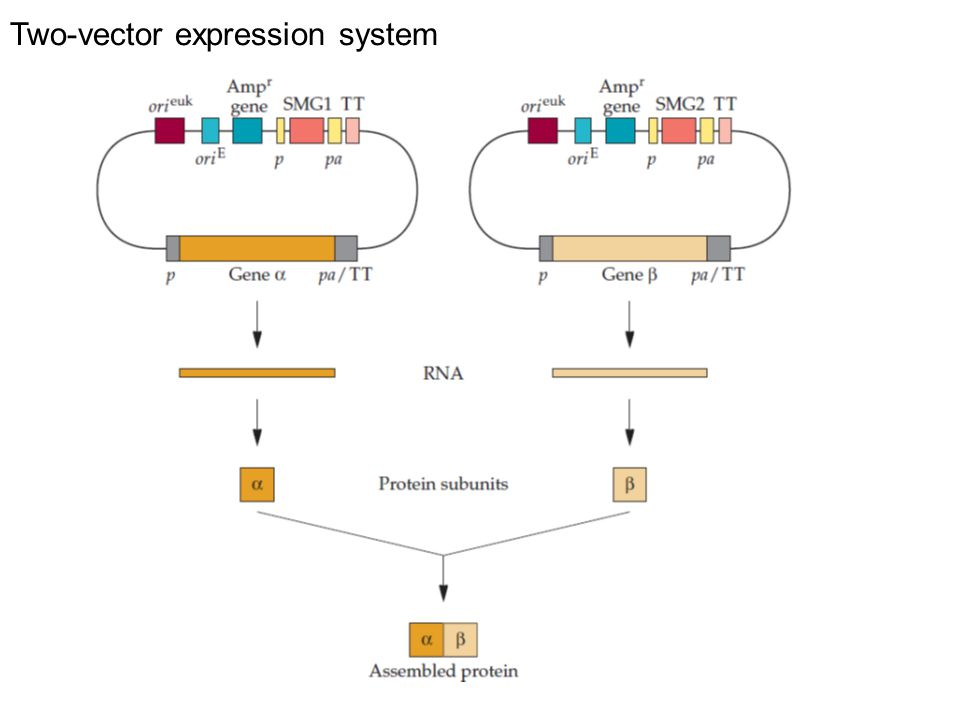 Two-vector expression system