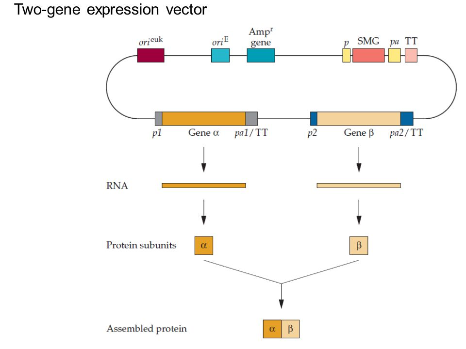 Two-gene expression vector