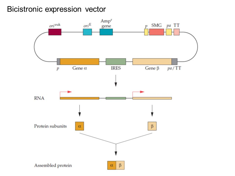 Bicistronic expression vector