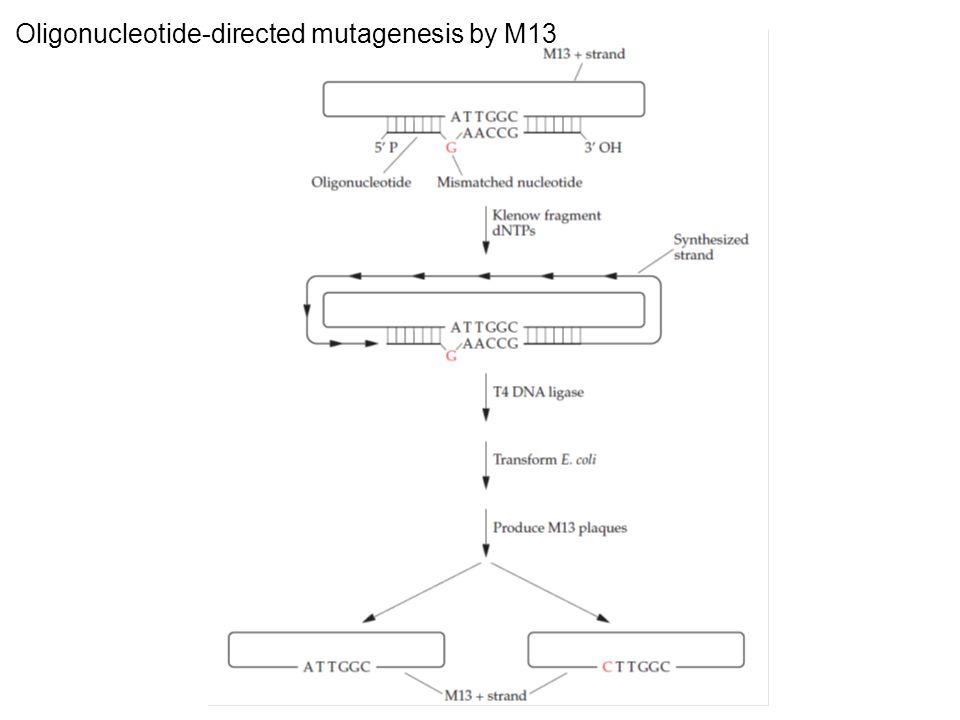 Oligonucleotide-directed mutagenesis by M13