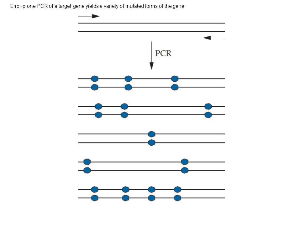 Error-prone PCR of a target gene yields a variety of mutated forms of the gene