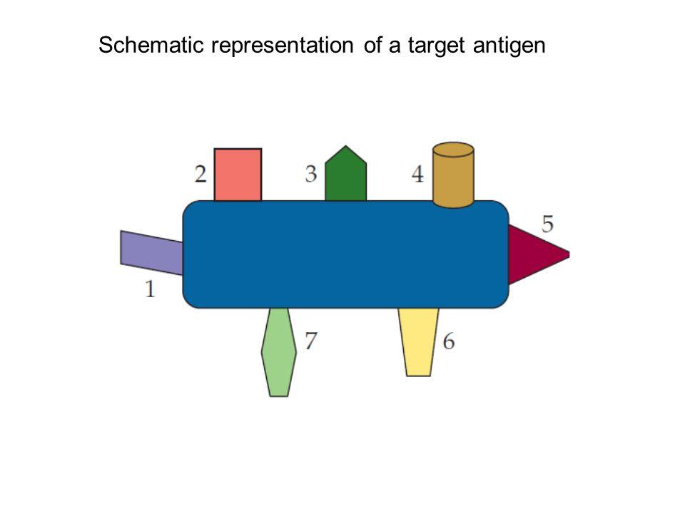 Schematic representation of a target antigen