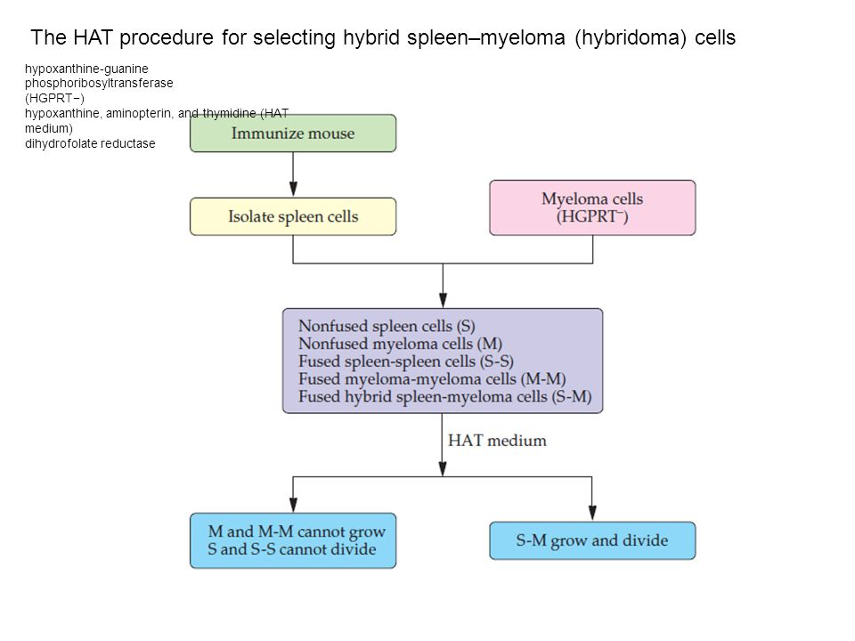 The HAT procedure for selecting hybrid spleen–myeloma (hybridoma) cells