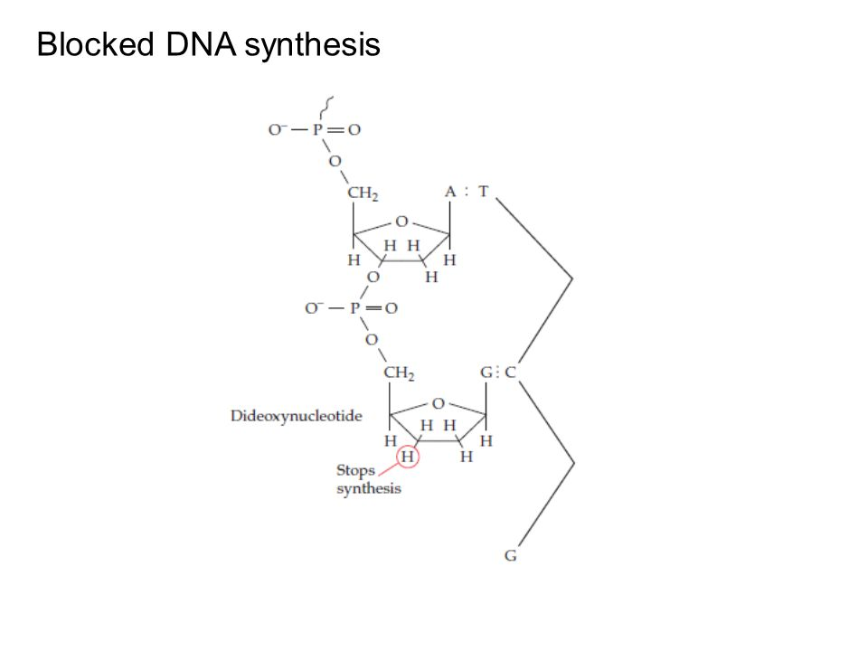 Blocked DNA synthesis