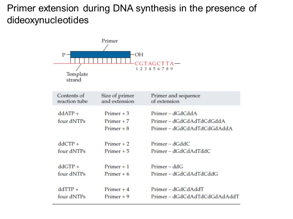 Primer extension during DNA synthesis in the presence of dideoxynucleotides