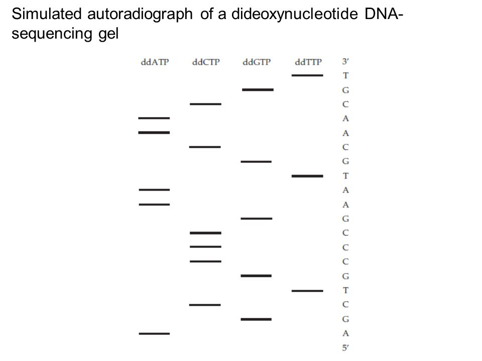 Simulated autoradiograph of a dideoxynucleotide DNA-sequencing gel