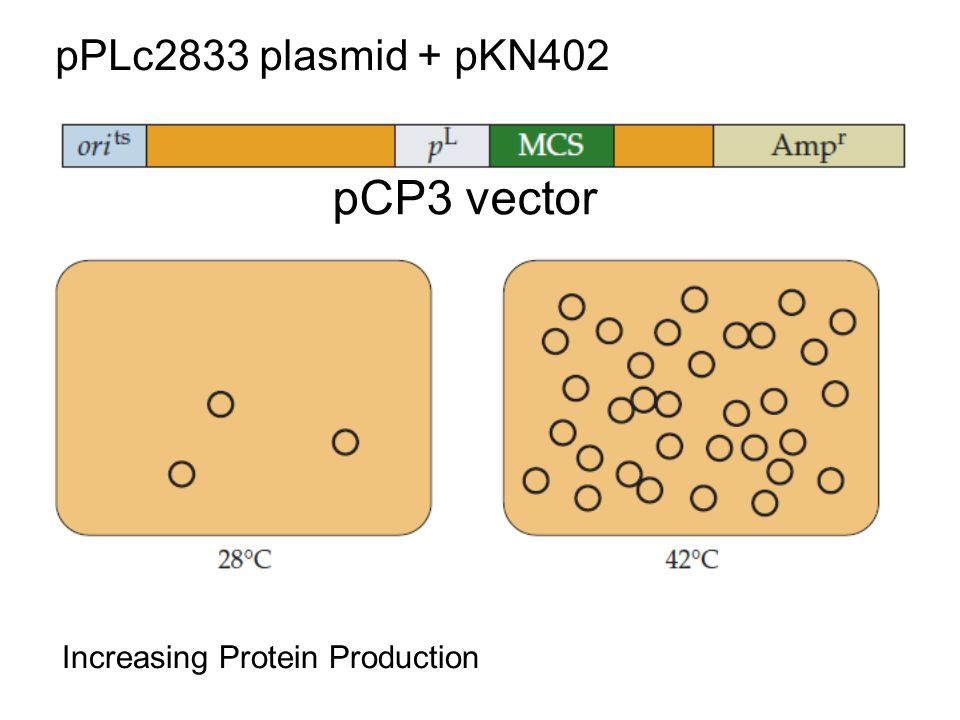 pPLc2833 plasmid + pKN402 pCP3 vector Increasing Protein Production