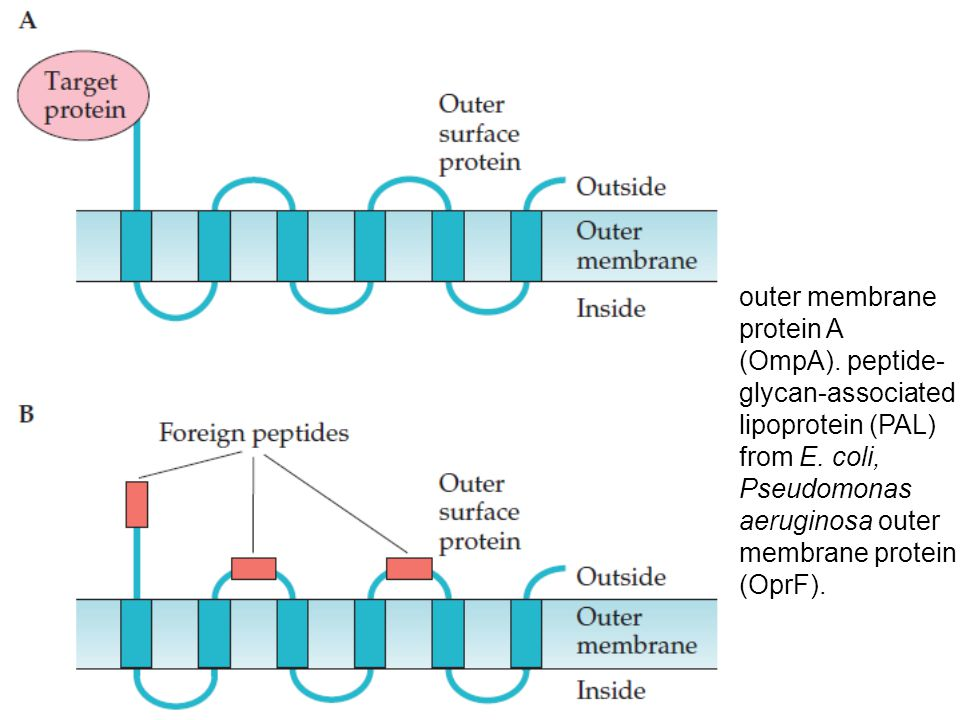 outer membrane protein A