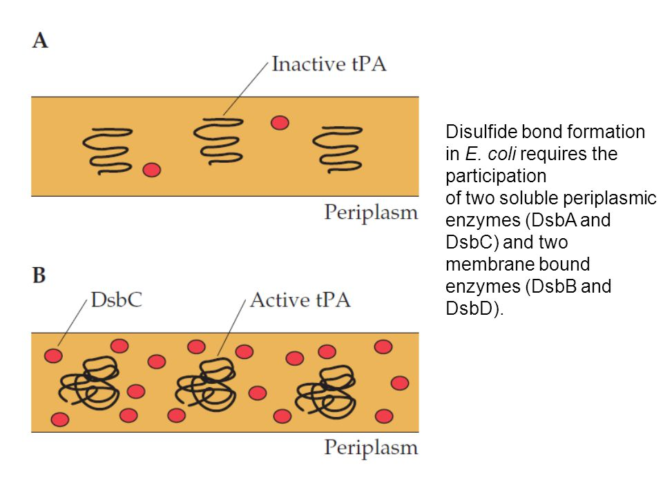 Disulfide bond formation in E. coli requires the participation