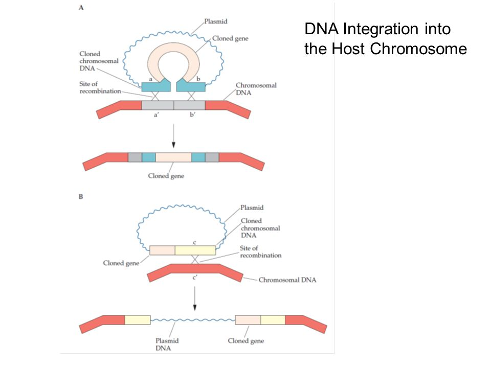 DNA Integration into the Host Chromosome