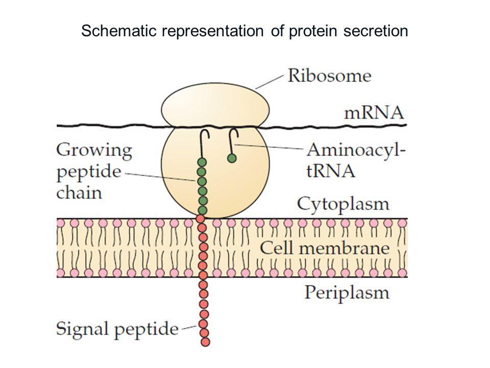 Schematic representation of protein secretion