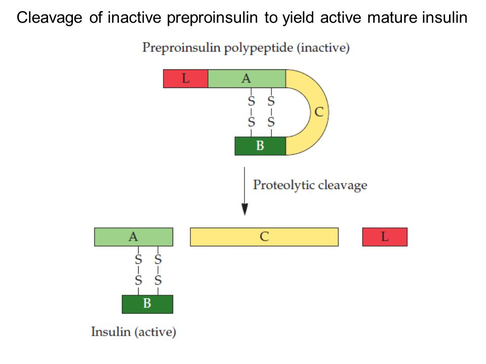 Cleavage of inactive preproinsulin to yield active mature insulin