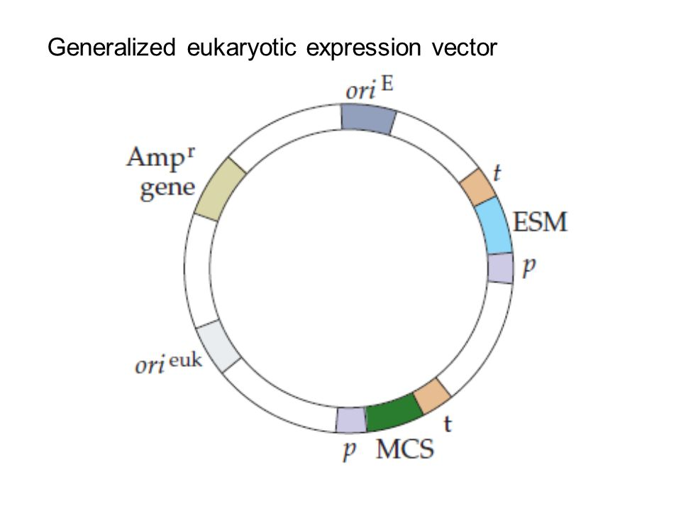Generalized eukaryotic expression vector
