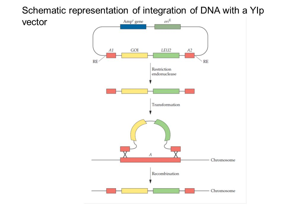 Schematic representation of integration of DNA with a YIp vector