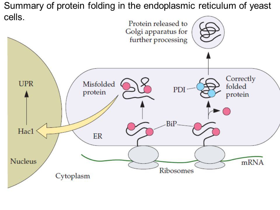 Summary of protein folding in the endoplasmic reticulum of yeast cells.
