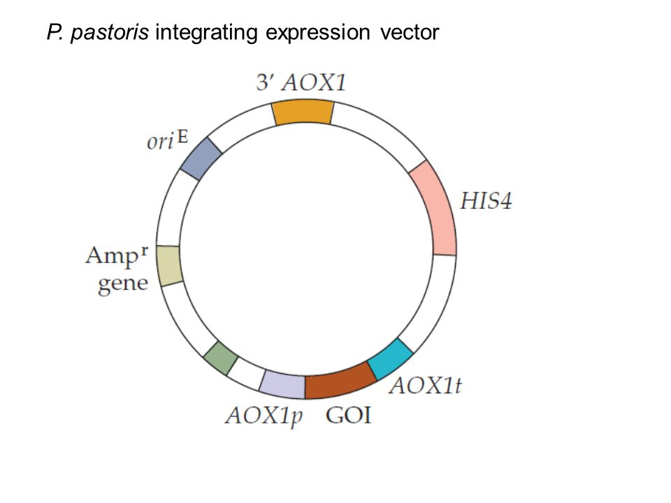 P. pastoris integrating expression vector