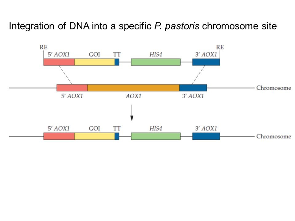 Integration of DNA into a specific P. pastoris chromosome site