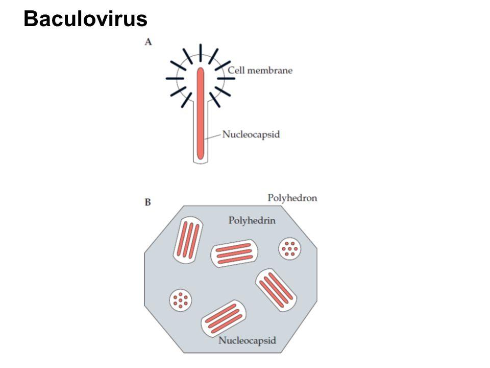 Baculovirus