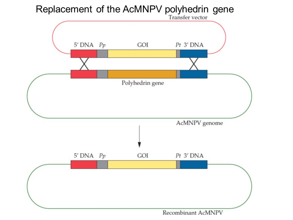 Replacement of the AcMNPV polyhedrin gene