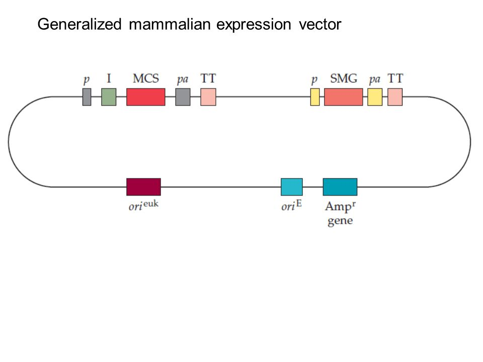 Generalized mammalian expression vector