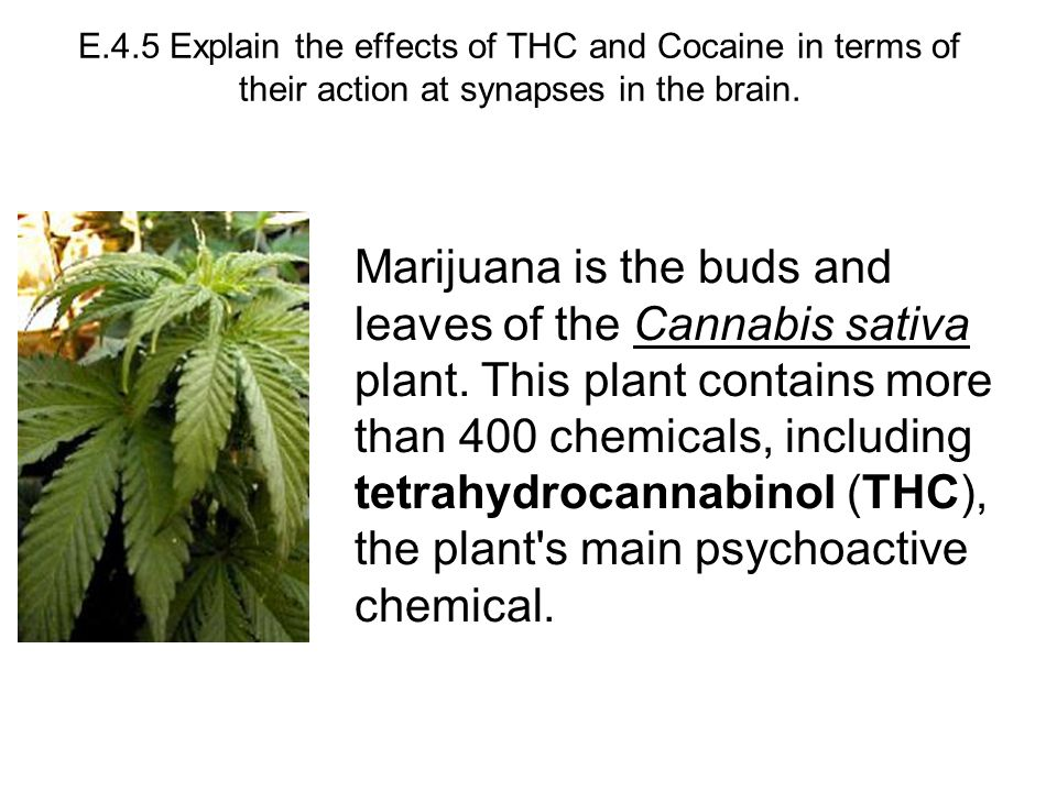 E.4.5 Explain the effects of THC and Cocaine in terms of their action at synapses in the brain.