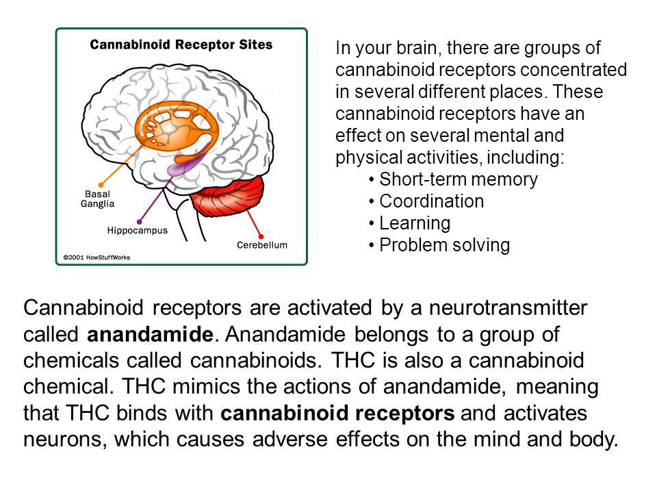 In your brain, there are groups of cannabinoid receptors concentrated in several different places. These cannabinoid receptors have an effect on several mental and physical activities, including: