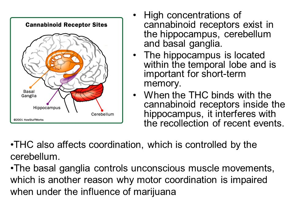 High concentrations of cannabinoid receptors exist in the hippocampus, cerebellum and basal ganglia.