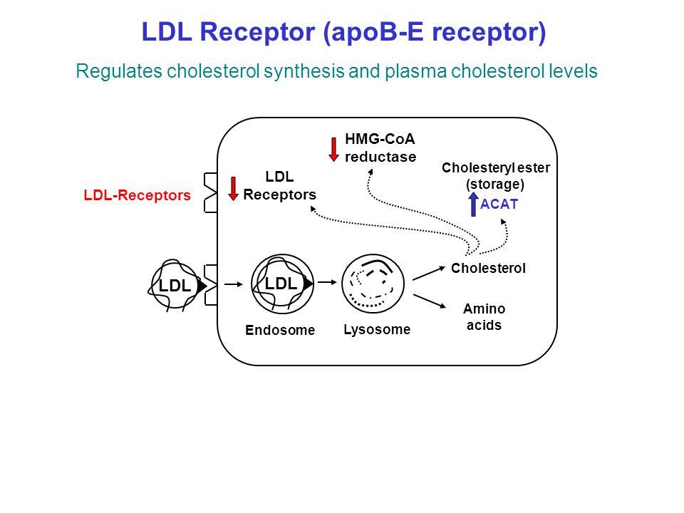 LDL Receptor (apoB-E receptor)