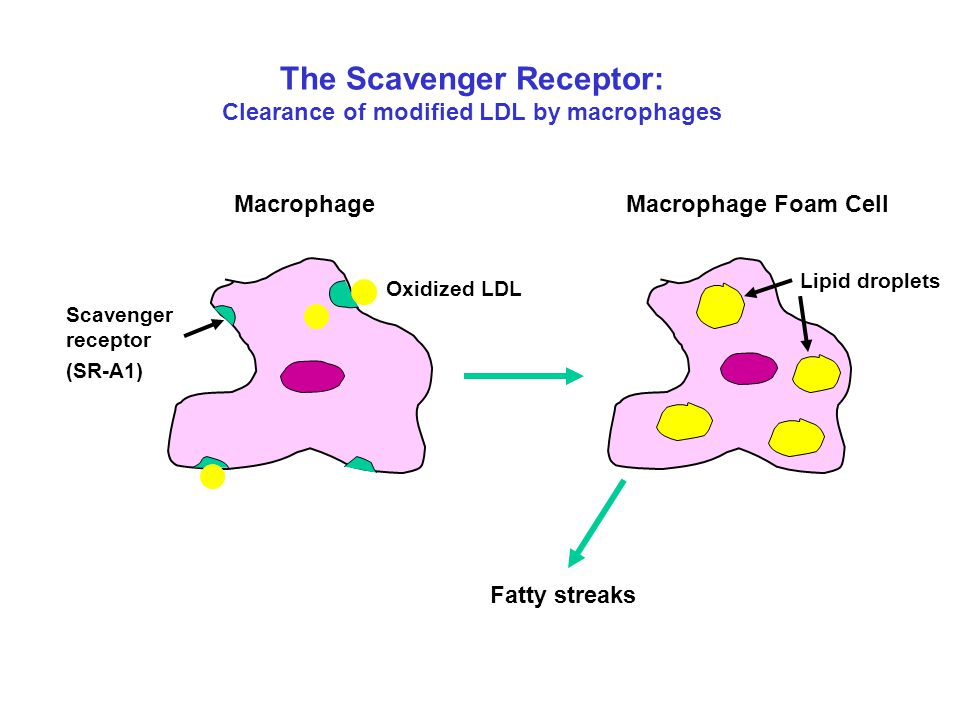 The Scavenger Receptor: Clearance of modified LDL by macrophages