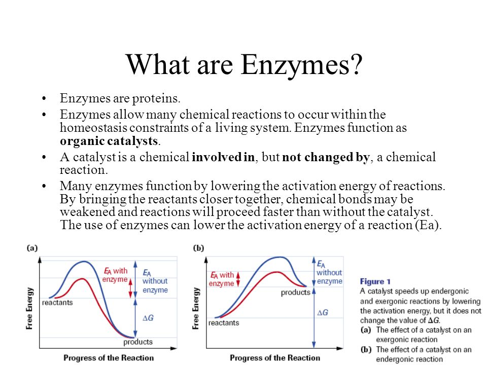 What are Enzymes Enzymes are proteins.