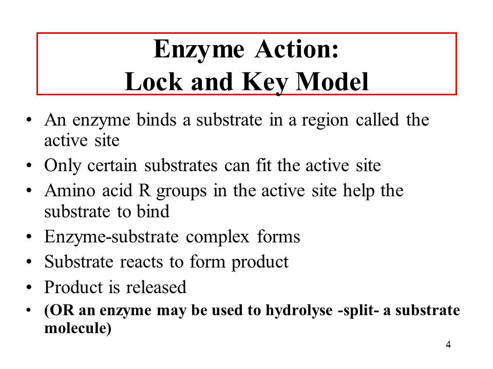 Enzyme Action: Lock and Key Model