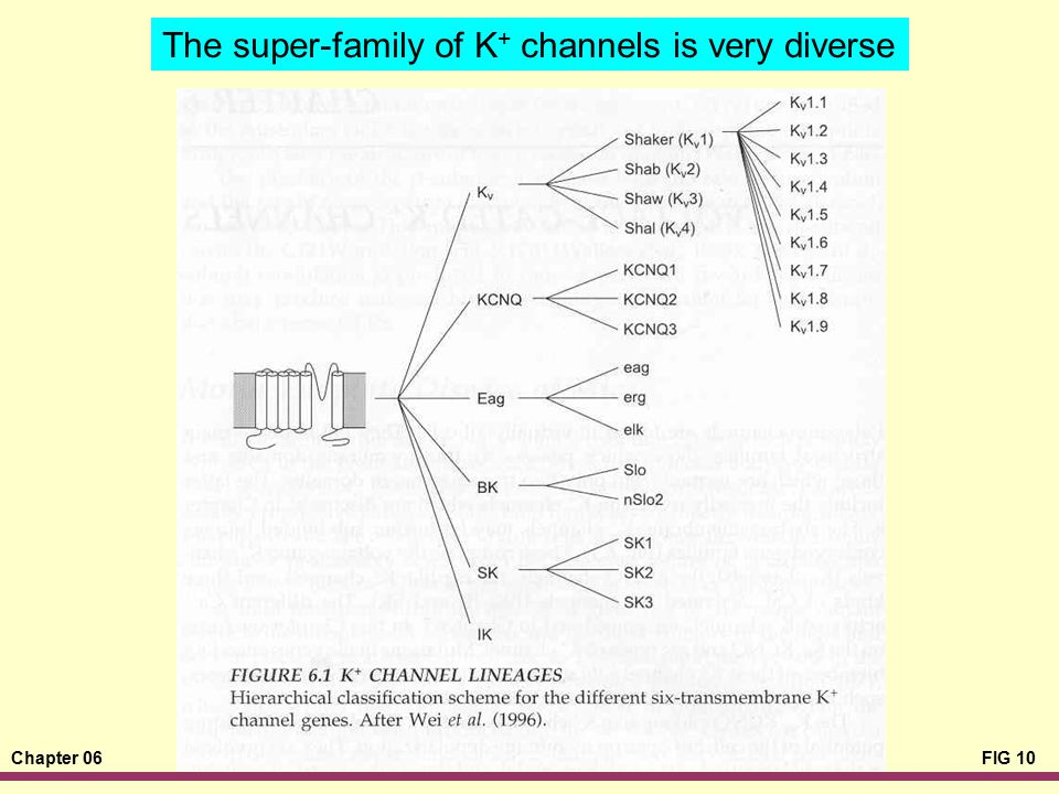 The super-family of K+ channels is very diverse