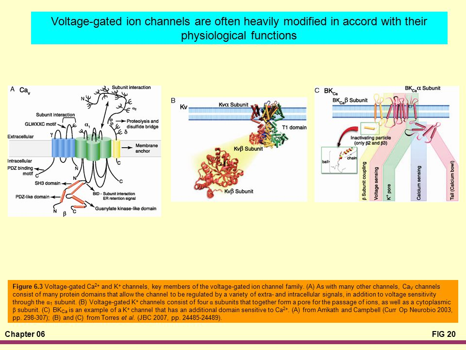 Voltage-gated ion channels are often heavily modified in accord with their physiological functions