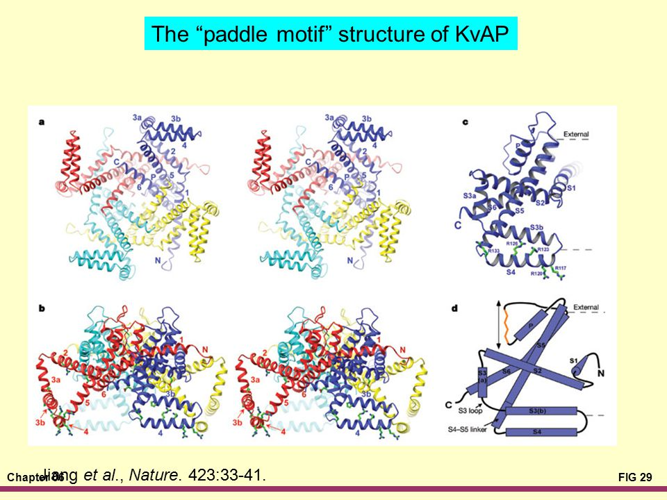 The paddle motif structure of KvAP