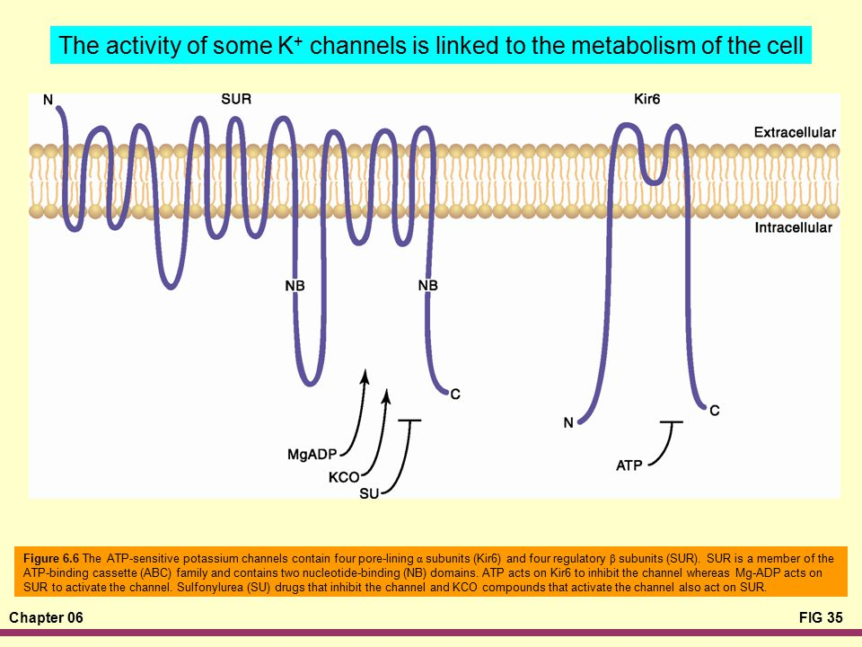 The activity of some K+ channels is linked to the metabolism of the cell