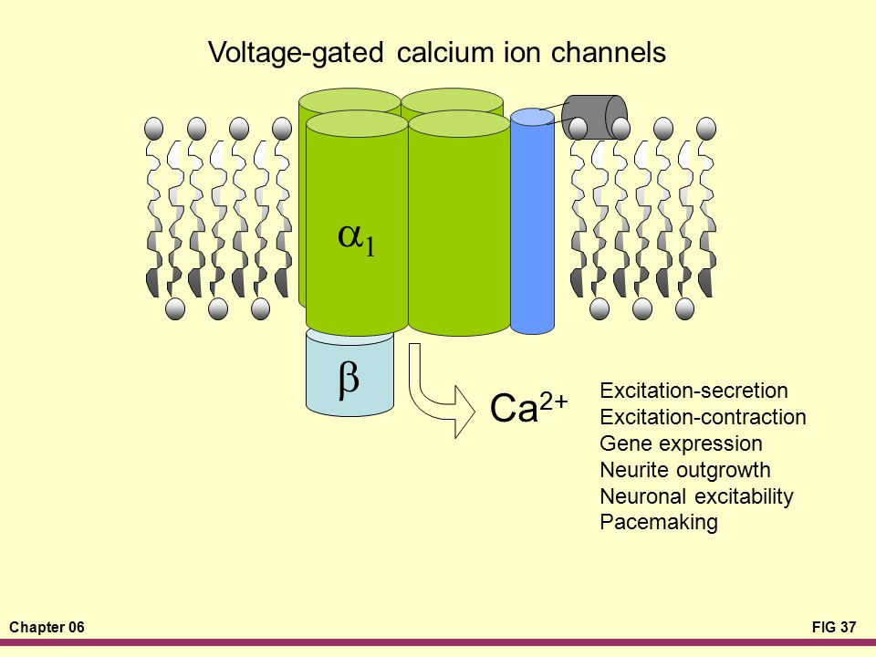 a1 b Ca2+ Voltage-gated calcium ion channels Excitation-secretion