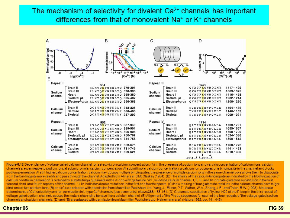 The mechanism of selectivity for divalent Ca2+ channels has important differences from that of monovalent Na+ or K+ channels