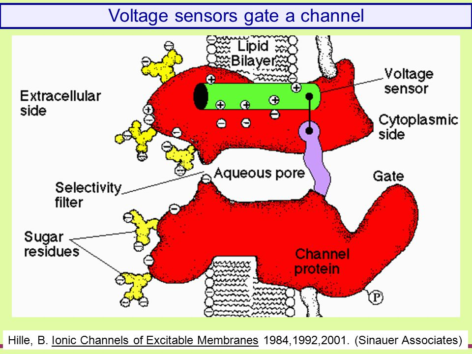 Voltage gates a channel