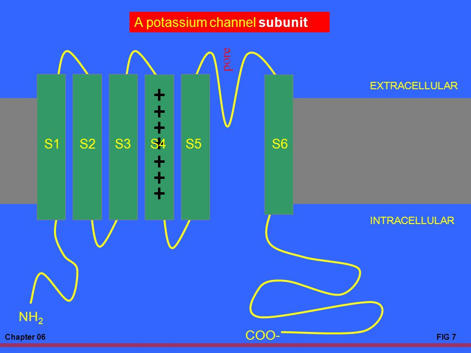 A potassium channel subunit