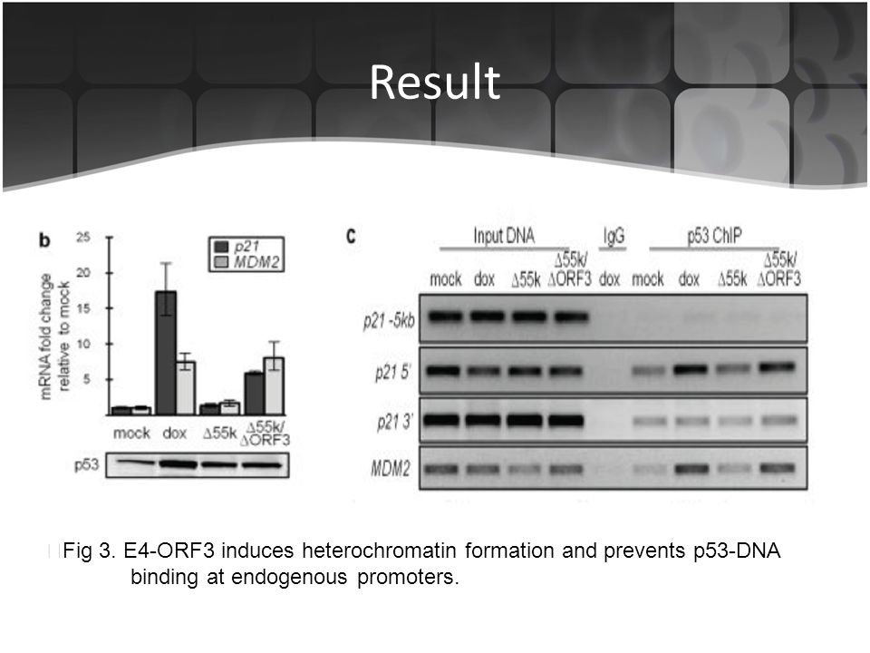 Result ▶Fig 3. E4-ORF3 induces heterochromatin formation and prevents p53-DNA.