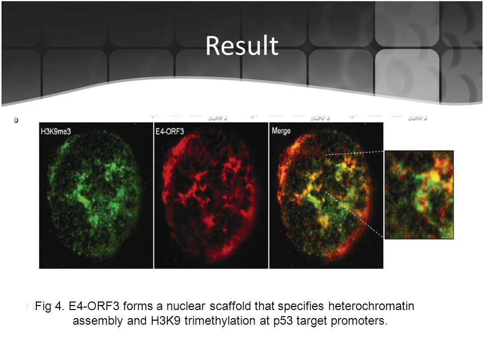 Result ▶Fig 4. E4-ORF3 forms a nuclear scaffold that specifies heterochromatin.