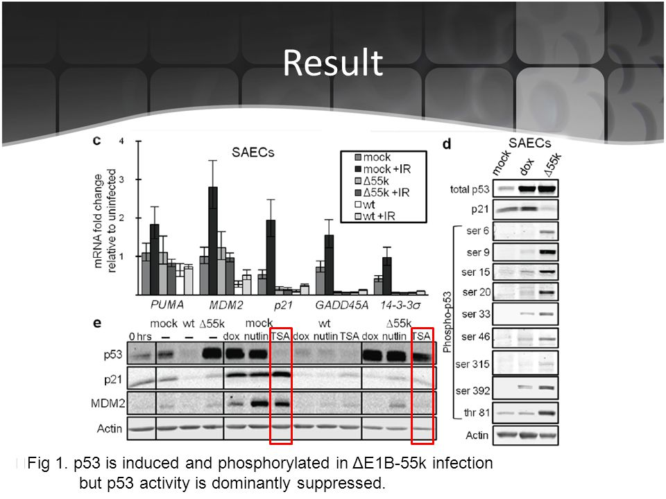 Result ▶Fig 1. p53 is induced and phosphorylated in ΔE1B-55k infection
